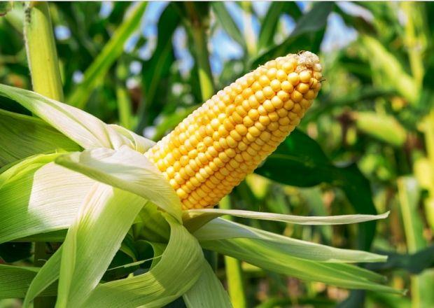 Как заваривать кукурузные рыльца для похудения. Нестандартный, но рабочий способ
