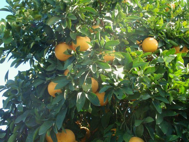 Польза фрукта помело для похудения. Проверенная эффективность
